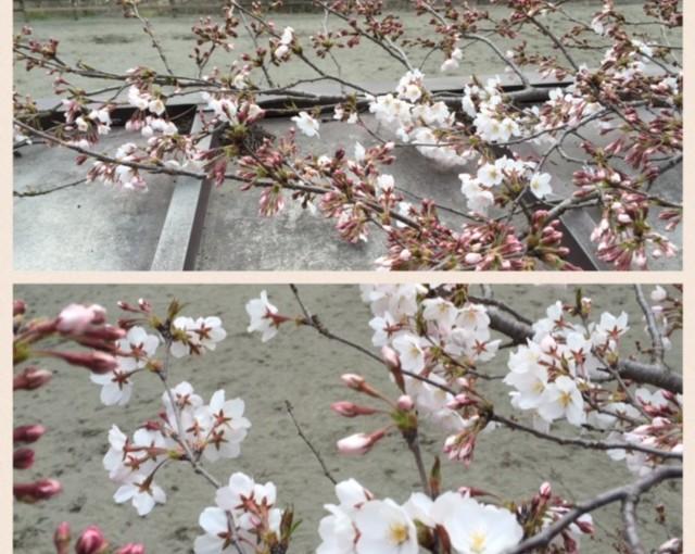 3月27日(日)桜咲く