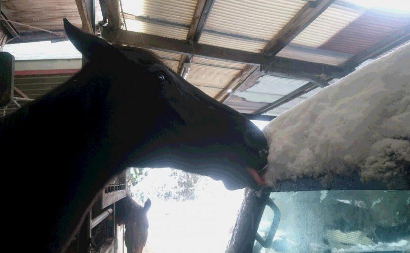 [越生の乗馬クラブ]雪かき完了です。明日は経路走行会です!!